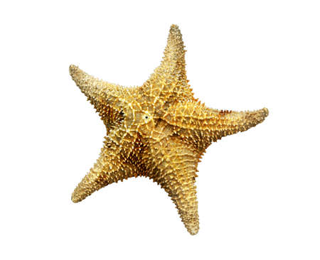 sea star: the topside of a starfish also known as a sea star