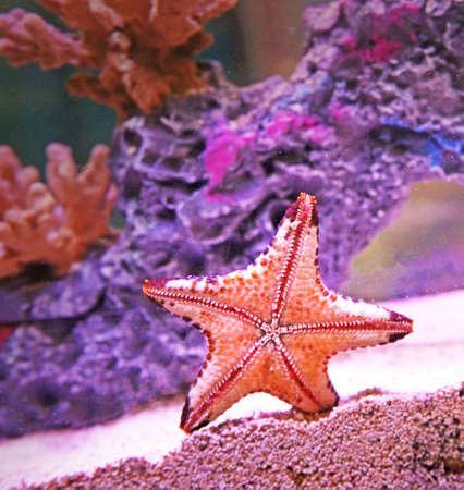 underside of a chocolate chip starfish - sea star Stock Photo