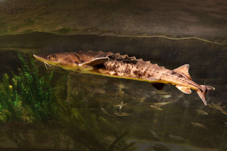 a young sturgeon
