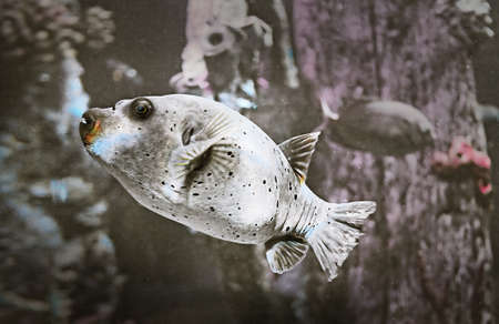 bony: a dog face puffer aka Hush Puppy, Black-spotted Puffer