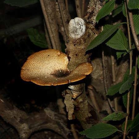 fairy toadstool: a bracket mushroom Stock Photo