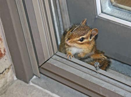 ardilla: una pequeña ardilla escondido en un rincón Foto de archivo