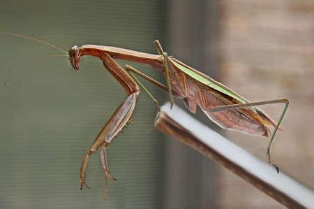 a large praying mantis
