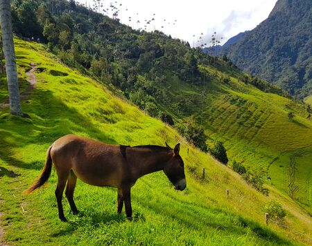 A donkey in Cocora valley, in the hills with green grass, Salento Colombia