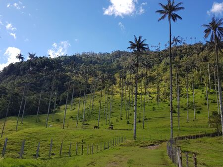 View of the Cocora Valley with a blue sky and green grass, Salento Colombia Stock Photo
