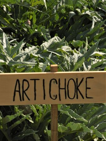 artichoke from the garden with a hand made sign