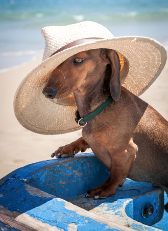 Dachshund dog with hat on the beach photo