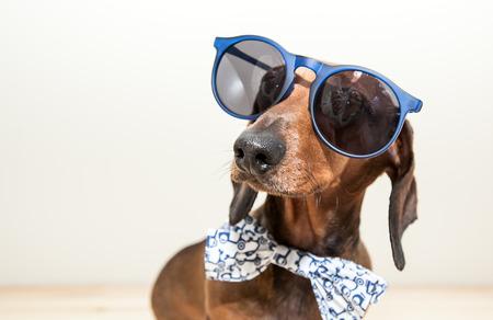 Rode teckel hond met een zonnebril of een strikje sjaals