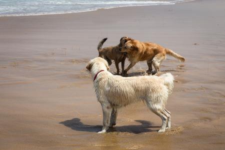 perros jugando: Perros que juegan la playa del Mar Mediterr�neo