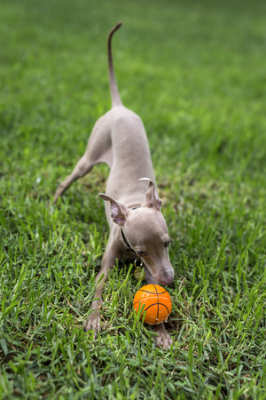 greyhound: Little italian greyhound in the field. Fun with costumes