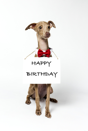 Italian Greyhound Piccolo dog portrait with chalkboard and letters. In study. Happy birthday Foto de archivo