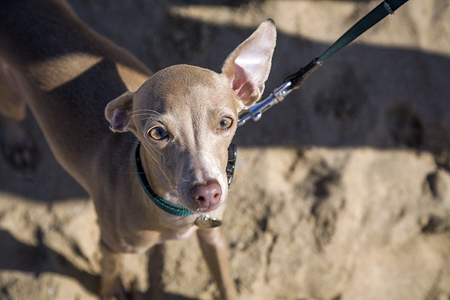 Little italian greyhound dog in the beach. Sunny. Sea.