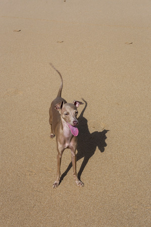 Little italian greyhound dog in the beach. Sunny. Sea.