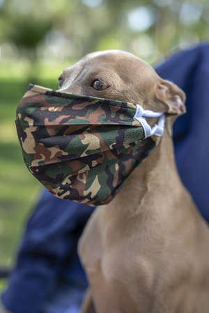 Pure breed Italian greyhound dog in the park with protective mask for coronavirus. Covid-19.
