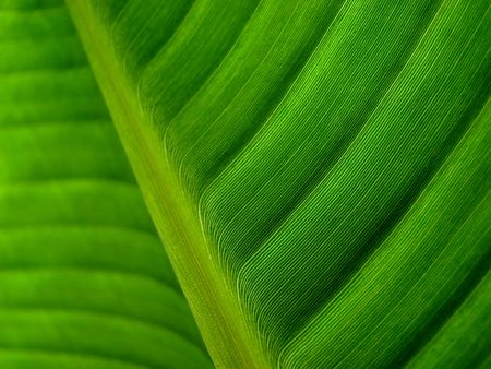 banana palm leaf green dark Stock Photo - 2083537