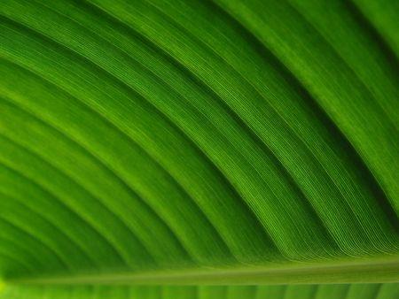 ingest: banana palm leaf green dark