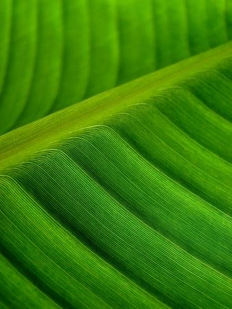 banana palm leaf green dark photo
