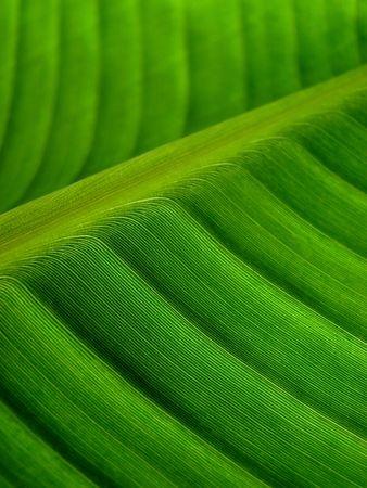 branching: banana palm leaf green dark