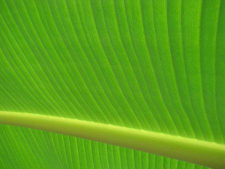ingest: banana palm leaf green