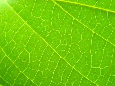 ingest: green leaf macro vains