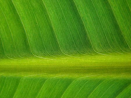 absorb: banana palm leaf green dark
