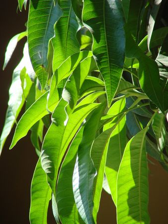 geen: leaf geen mango tree