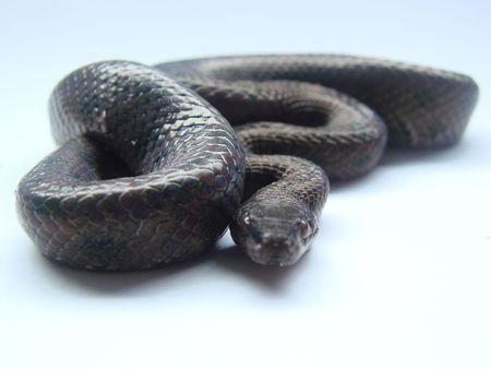 macro shot black snake Stock Photo - 3254531