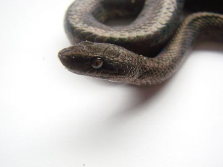 macro shot black snake Stock Photo - 3254525
