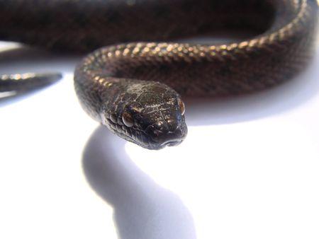 macro shot black snake Stock Photo - 3254524