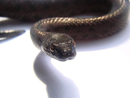 snake head fish: macro shot serpente nero Archivio Fotografico