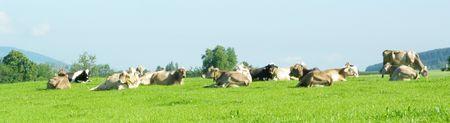 ruminants: cow relaxing in green field Stock Photo