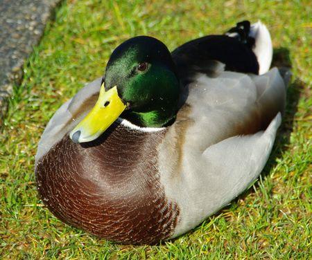 manhood: duck macro