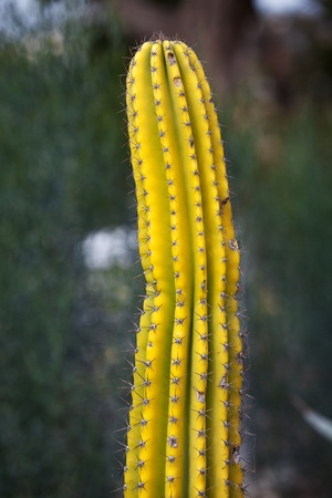 Spiked yellow cactus plant photo