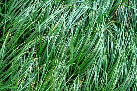 long: Flowing long green grass Stock Photo