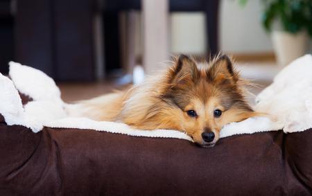 sheltie dog in basket Foto de archivo