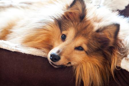 sheltie dog in basket Stockfoto