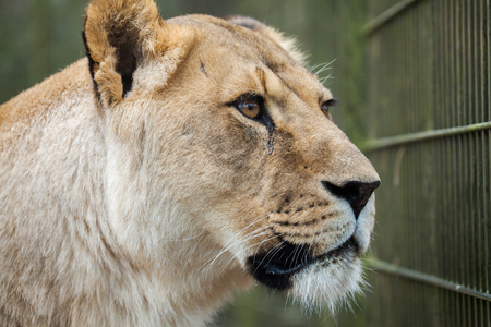 chasing tail: lioness in compound