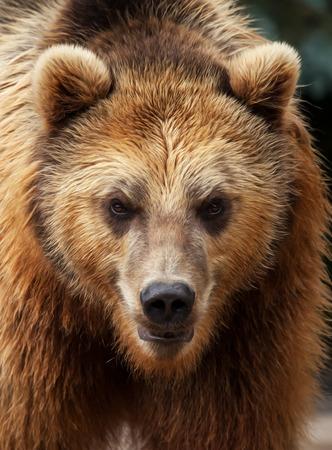 bear portrait Stockfoto