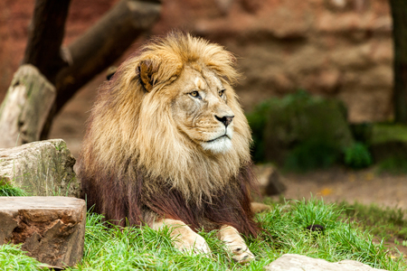 chasing tail: lion Stock Photo