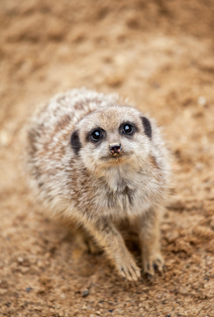socially: sweet meerkat Stock Photo