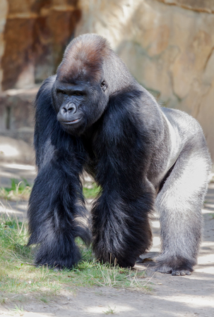 and the stakes: Gorilla stakes out his territory