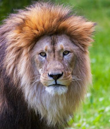 dangerous lion: lion looks into the camera in portrait