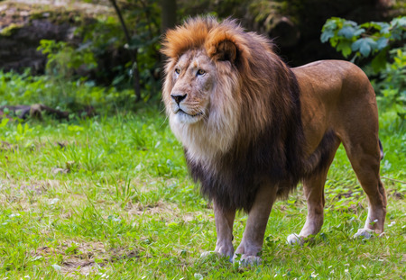 lion stands on grass and looks to the left