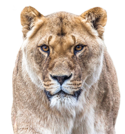 backround: lioness isolated on white backround
