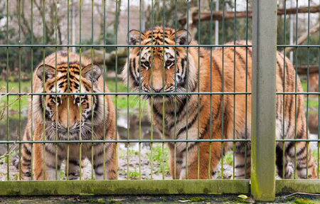 compound: two tigers looking behind the compound fence Stock Photo