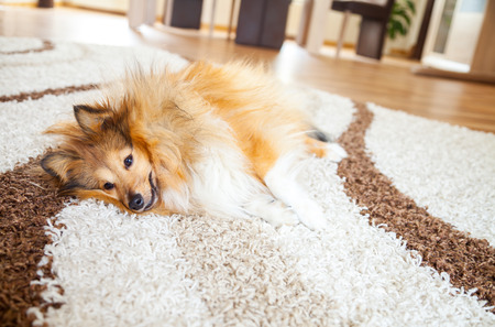 relaxed shelty dog lies on carpet