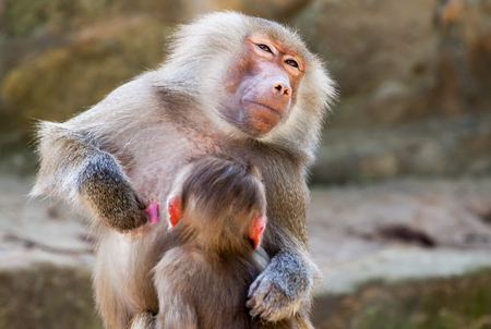 humanly: milk drinking ape child on his mother
