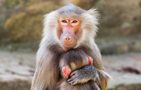 humanly: ape mother with her child in arms Stock Photo