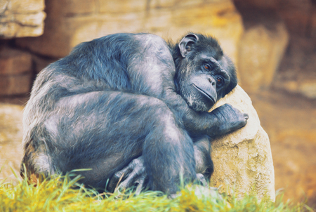 humanly: unhappy ape on a stone