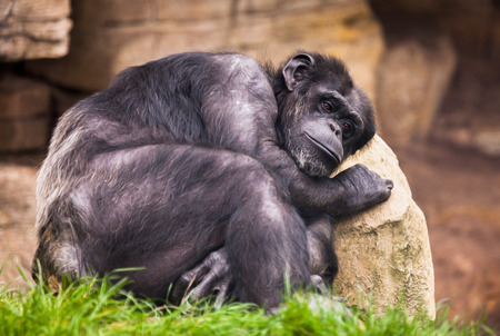 humanly: sad ape on a stone